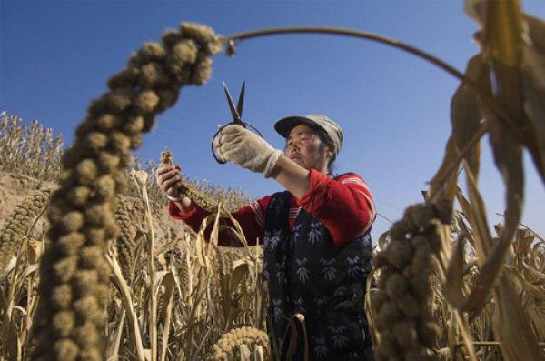 文化心理学:种水稻或小麦影响思维? - 小德宇 - 小德宇的博客