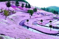 美cry了的日本粉色花海