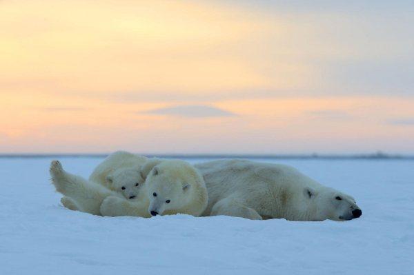 北极熊不冬眠